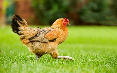 How To Raise Backyard Chickens Sierra Club Backyard Chicken Laws