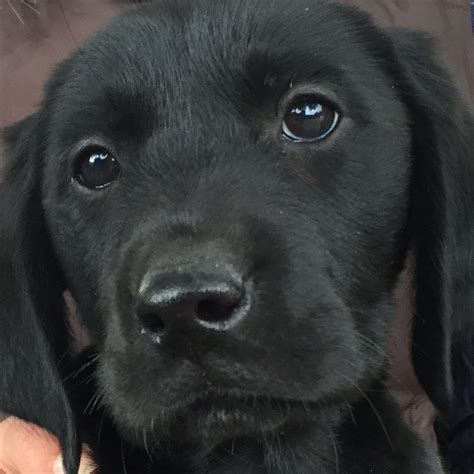 ultimate doodle puppy ultimate doodle puppies fully vaccinated ruislip