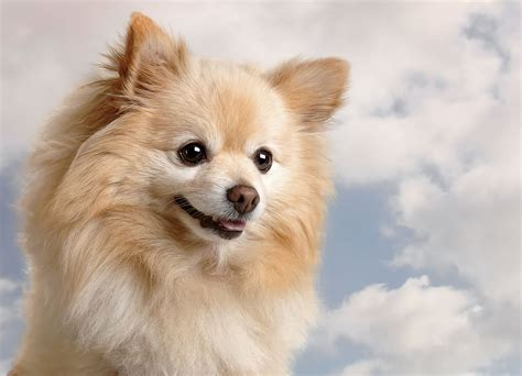 pomeranian bred for pomeranian breed information pet365