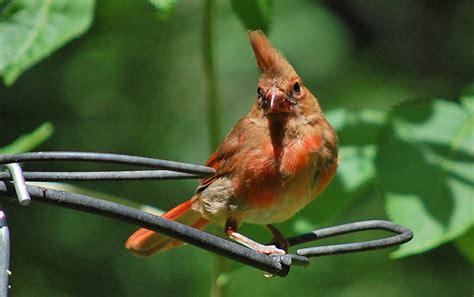 juvenile northern cardinals