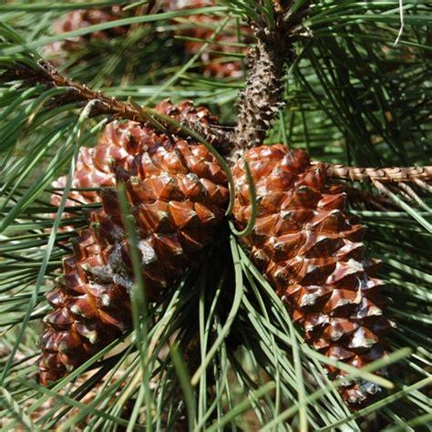 pino da vaso pino marittimo pinus pinaster vaso 216 18cm h 120 140