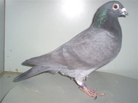 black grizzle racing pigeons related keywords black