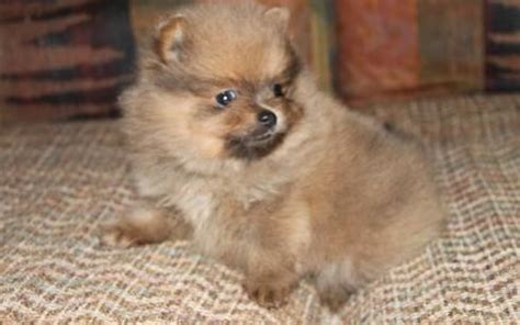 potty pomeranian puppies potty trained pomeranian puppies available for homes port macquarie dogs for