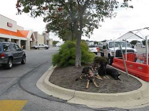 4 german shepherds on downs at home depot in hanover pa