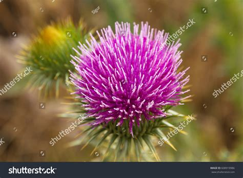 purple scotch thistle flower stock photo 608919986