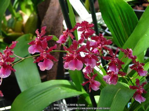 fragrant indoor plants low light houseplants forum fragrant houseplants garden org