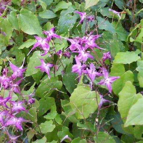 Mizzou Finder Barrenwort Lilafee Friends School Plant Sale
