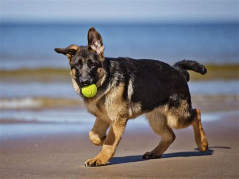 german shepherd puppy facts 9 amazing facts about german shepherd dogs american kennel club