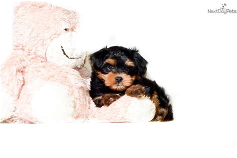 yorkie poo puppies for sale va teacup yorkie poo puppies for sale in virginia teacup yorkie poo breeds picture