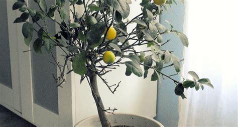 piante da interno piante da appartamento resistenti piante da interno
