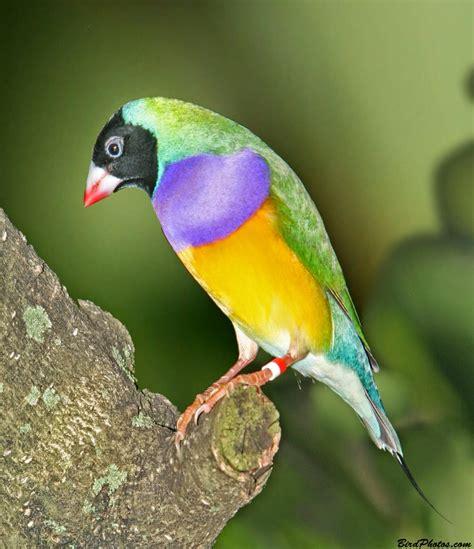 Sarang Burung Finch Kenari Dan Sejenisnya om hoby cara mudah ternak burung finch