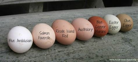 why do different colored how blue eggs get their color and the breeds that lay them