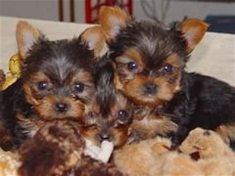 yorkie babies for free free baby teacup yorkies for adoption yorkie vivapets
