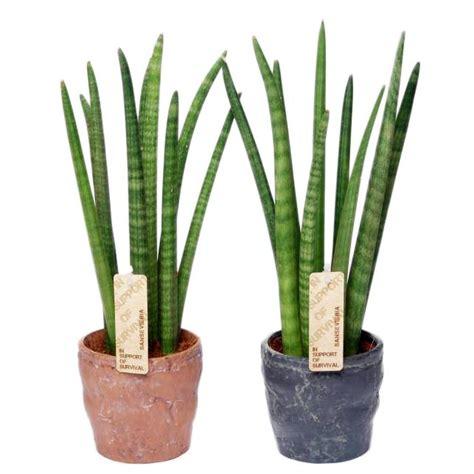 Indoor Decorative Plants Sansevieria Cylindrica Spaghetti In Durban Ceramics