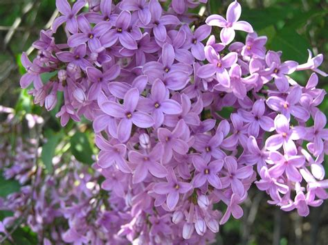 lilac flower meaning lilac flowers