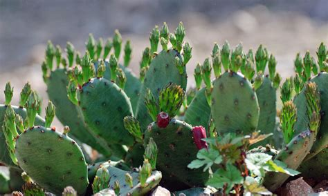succulent facts facts about prickly pear cactus images