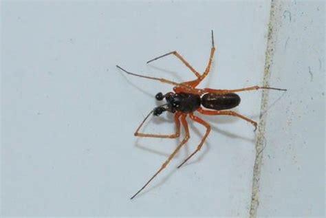 taille bordure 1784 linyphiidae d 233 termination selon comparaison le monde