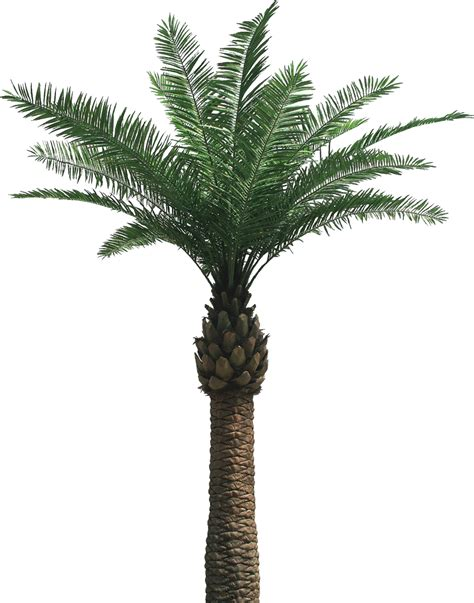 palm tree png   icons  png backgrounds