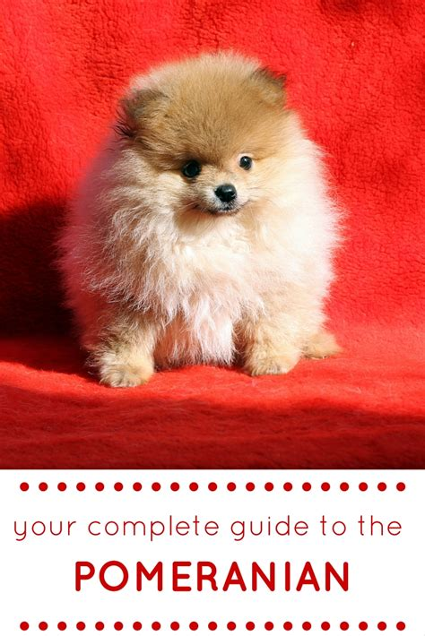 pomeranian behavior characteristics best 25 pomeranian temperament ideas on pom baby pomeranian and