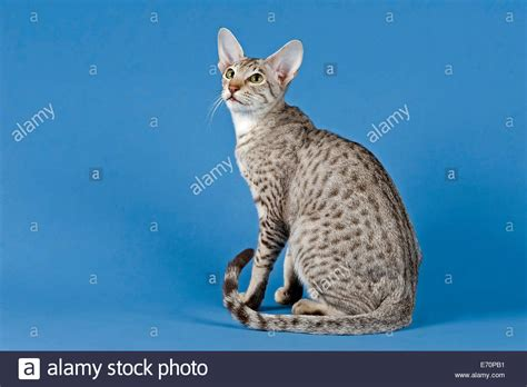 spotted breeds 50 spotted cat breeds