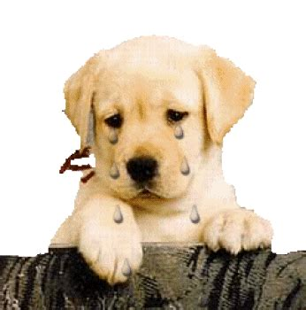 animated golden retriever golden retriever graphics and animated gifs
