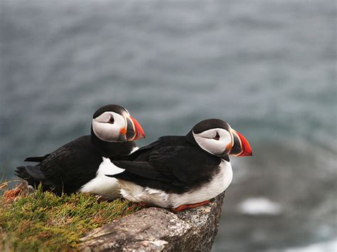 puffins flickr photo sharing