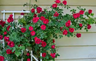 all about climbing roses stark bro s