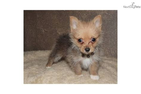 teacup yorkie pomeranian mix pomeranian puppy for sale near texoma 05689884 aab1