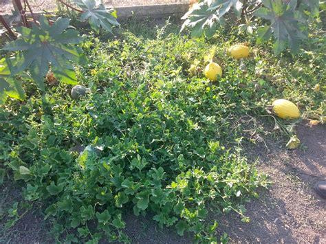 melonen im garten 27 august 2013 wieder daheim in thessalien fahren auf