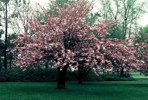 cherry tree growth rate blueview nurseries deciduous trees