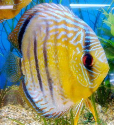 cara membuat aquascape ikan discus cara memilih ikan discus