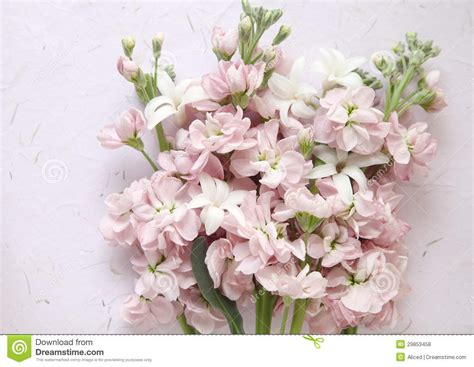 free flower images and stock photos pink stock and white hyacinth flowers royalty free stock