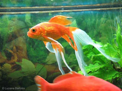 vasca pesce rosso acquario per pesci
