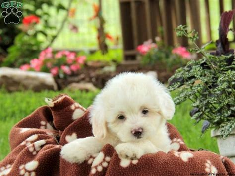 lhasa apso puppies for sale in pa 17 best images about lhasa poodle mix on hoodie sweatshirts adoption and