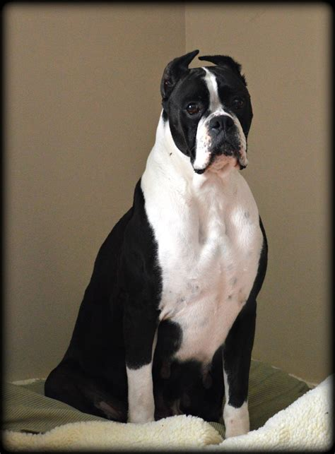 boxer puppies in ohio black boxer breeders images