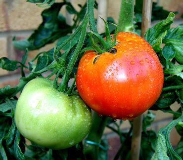 best tomato varieties to grow the best tomato varieties to grow garden guides