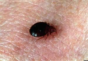 what color are bed bugs bed bugs a favorite color