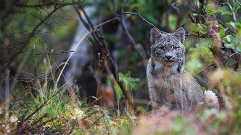 design pics inc canada lynx in denali national park alaska 169 design pics inc alamy 1 photo 1 day