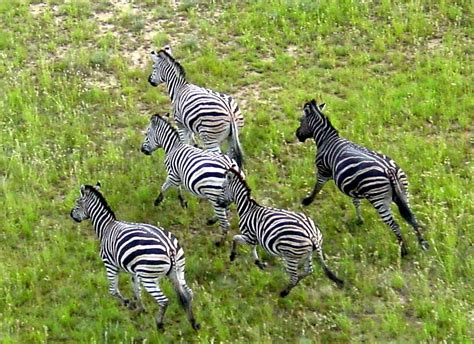 black zebra treknature black zebra photo