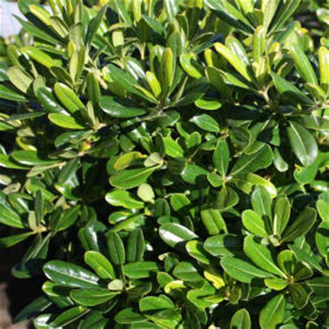 pittosporum  muffet mm pot dawsons garden world