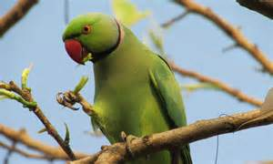 wallpaper indian ring parakeet australia great britain united states tourism green bird