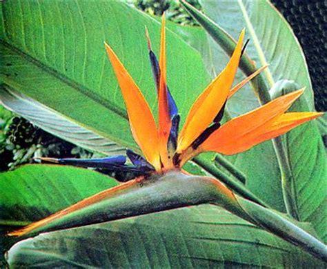 sterlizia fiore strelitzia strelizia musaceae come curare e