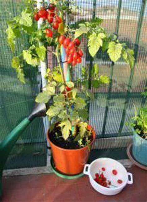 pomodori coltivati in vaso orto cittadino