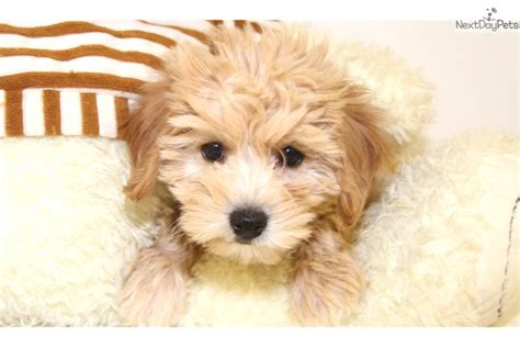 cavapoo puppies near me cavapoo puppy for sale near columbus ohio ee4bc60a 5151