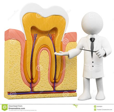 When To Section Someone by 3d White Dentist With Tooth Section Stock Image