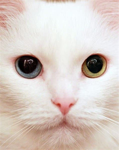 white cat with odd eyes 290 best images about cat white hair odd eye on