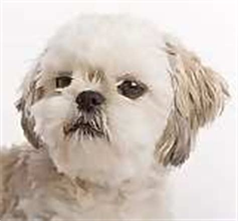 teacup shih tzu puppies for sale in pa teacup shih tzu puppies for sale in pa