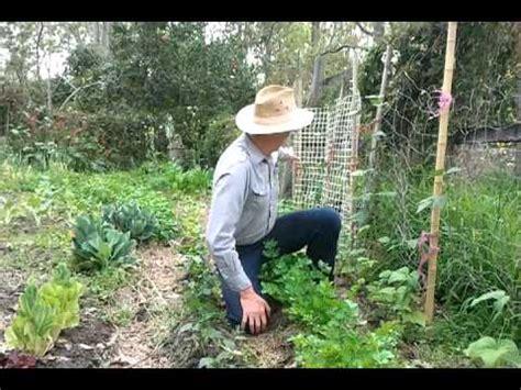grow bush beans  climbing beans youtube