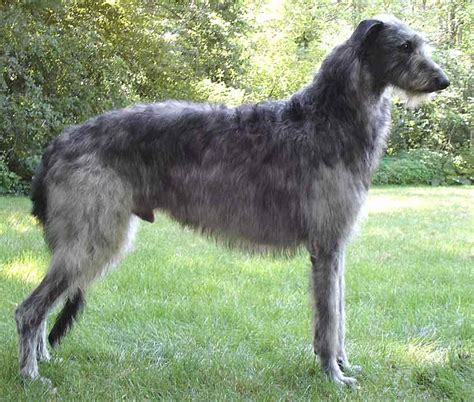 large breeds list what is a big breed breed dogs spinningpetsyarn