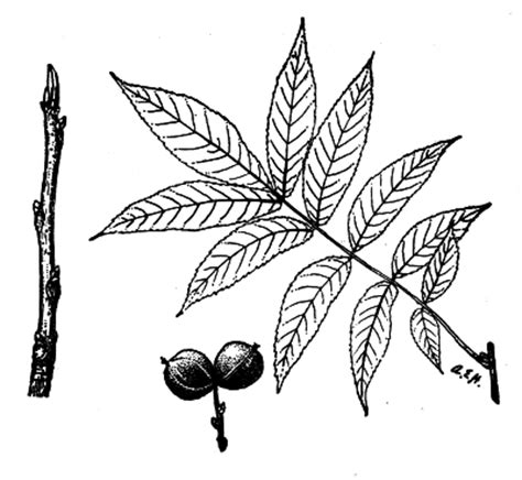 hickory tree coloring page the project gutenberg ebook of forest trees of illinois